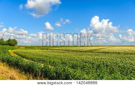Beautiful white cumulus clouds in a bright blue sky above a potato field on a polder in the Netherlands. Completely in the background at the dike is a row of wind turbines for the sustainable production of electricity.