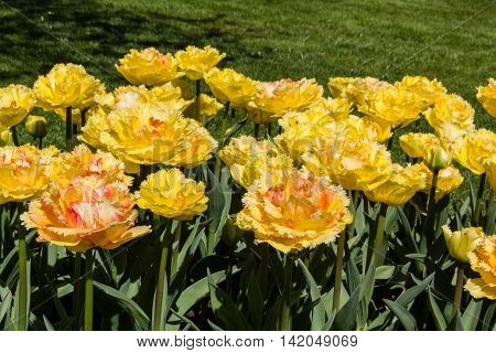 Tulipa Vaya Con Dios from Keukenhof gardens in Netherlands