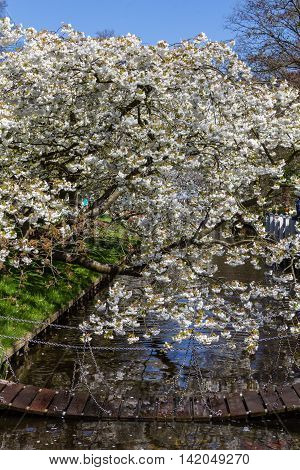 Cherry tree blossom from Keukenhof gardens in Netherlands