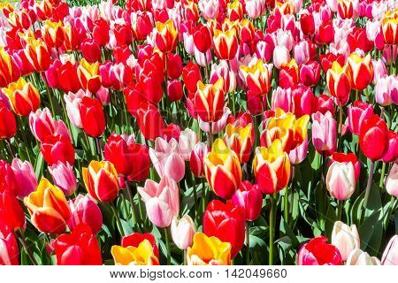 Tulipa Spring Surprise from Keukenhof garden Netherlands