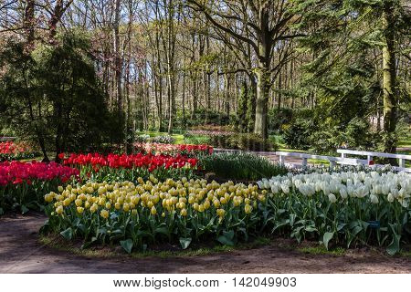 Tulips blossom in Keukenhof during spring time in Netehrlands