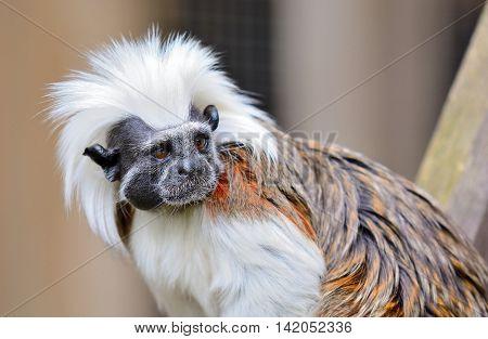 Cotton-top Tamarin Monkey