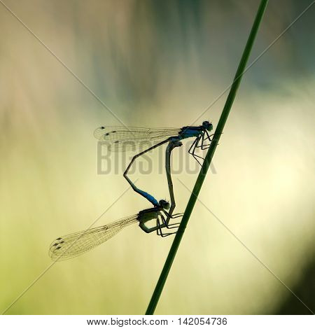 Couple dragonfly sitting on blade at shore pond.