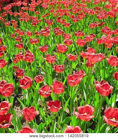Flower Pattern Tulips Everywhere