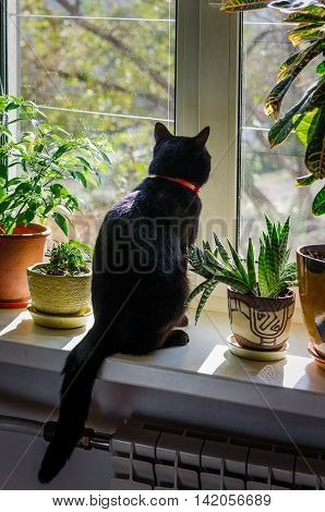 a black cat sits and looks out the window
