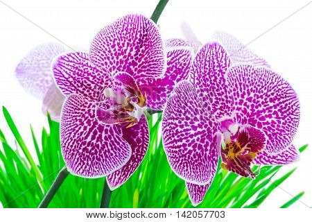 Orchid pink phalaenopsis on grass ,on a white background