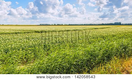 White cumulus clouds in a bright blue sky above a potato field on a polder in the Netherlands. Completely in the background at the dike is a long row of trees.