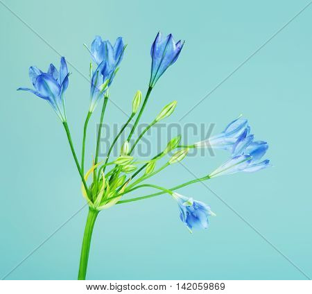fresh brodiaea flower, cluster-lily, on blue background