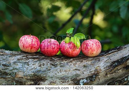 Several ripe apples lying on a trunk of an apple tree in a garden