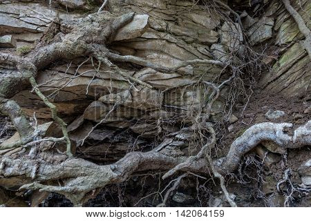 Stone wall of rock with cracks tree roots