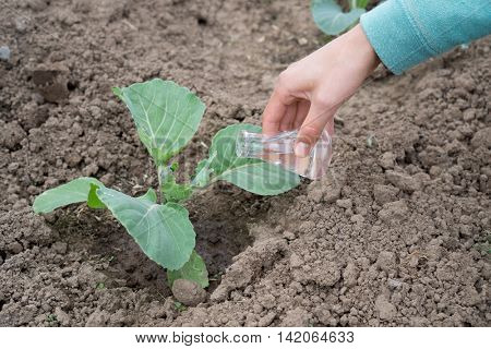 Hand with a test tube and cabbage plant. Fertilizer in laboratory glassware.