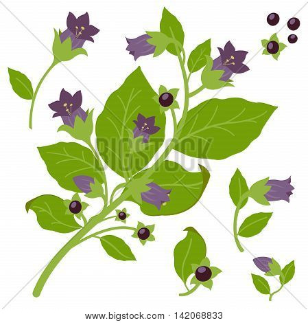 Vector Illustration of a belladonna plant on white background, isolated