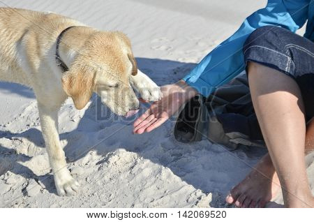 young labrador during training on the beach