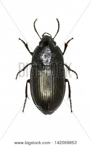 Seed-Eating Ground Beetle on white Background  -  Amara sp.