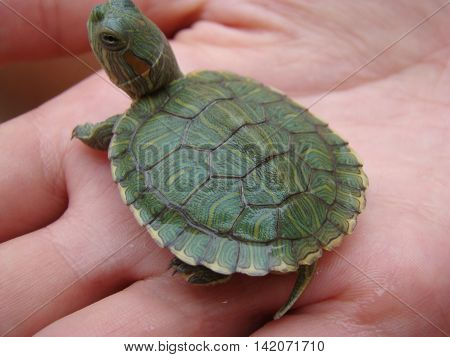 turtle trachemys Hatchling poses for the camera