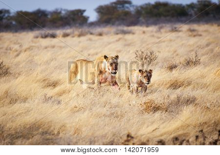 A lioness and a cub in the Etosha National Park Namibia Africa