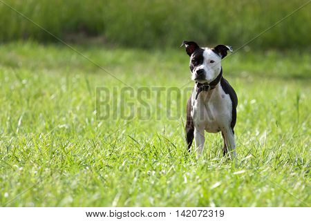 American Staffordshire Terrier standing on a meadow