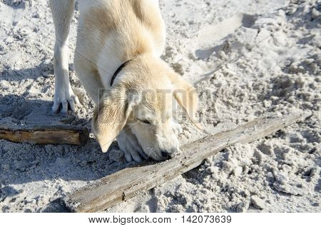 young labrador running on the beach with a stick