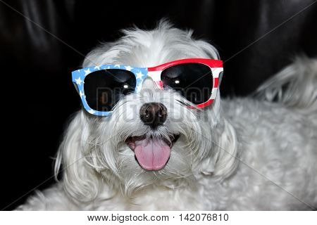 Patriotic Maltese dog with red, white and blue sun glasses