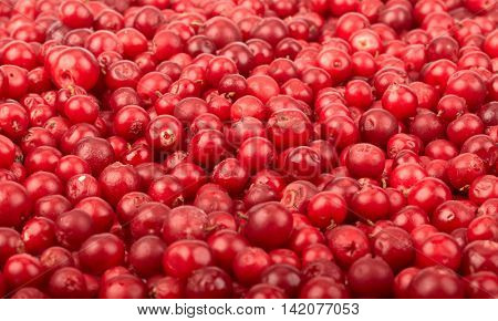 Abstract background from fresh cowberry. Close up.
