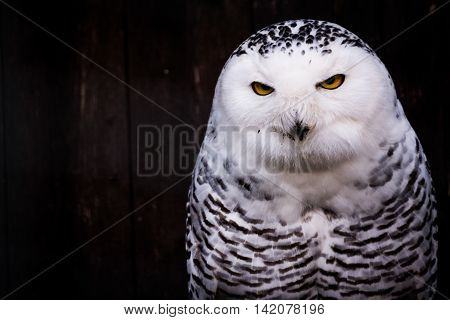 White Black Spotted Owl Eyes Yellow Stare Beak