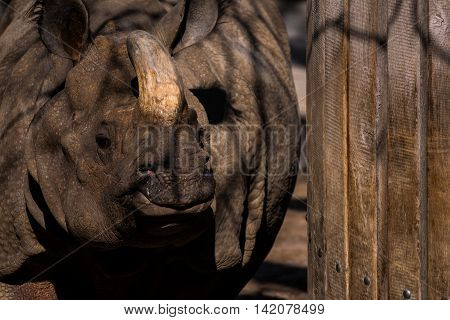 Rhino Brown Horn Walking Next to Wooden Wall