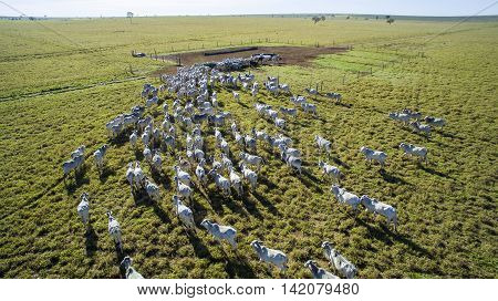 Cattle On Pasture In The State Of Mato Grosso In Brazil. July, 2016.