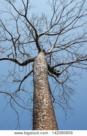 View on banyan tree against blue sky
