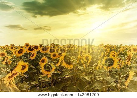 Sunflower on sunset vintage view, majestic sky