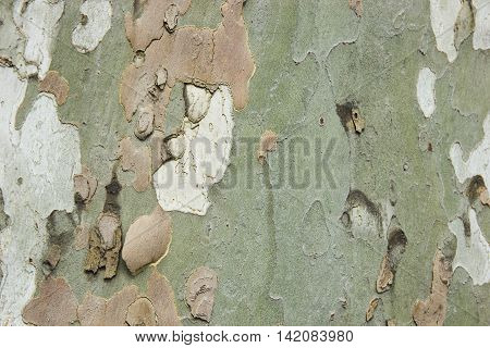 Sycamore tree bark closeup texture background abstract