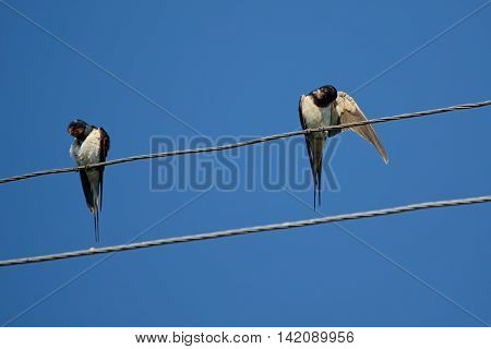 Couple of village birds is resting with a stay on the wires