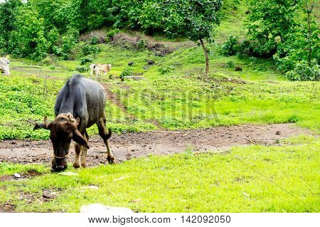 Bufallo grazing in a beautiful grassy mountain valley in India. Cattle are traditionally left free to roam around and graze