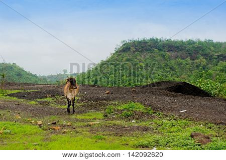 Cow roaming around in the middle of some mountains with vegetation all around. Cattle in india are traditionally left open to graze