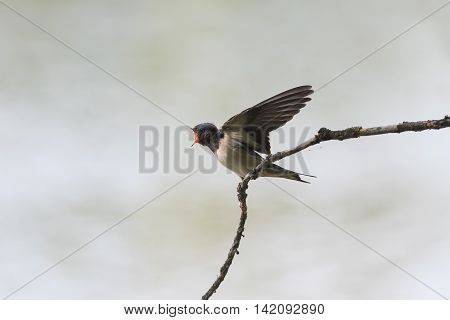 funny hungry chick swallows sitting on a branch wings spread and mouth open