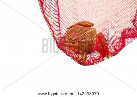 Green frog caught in net, captured. Isolated white background.