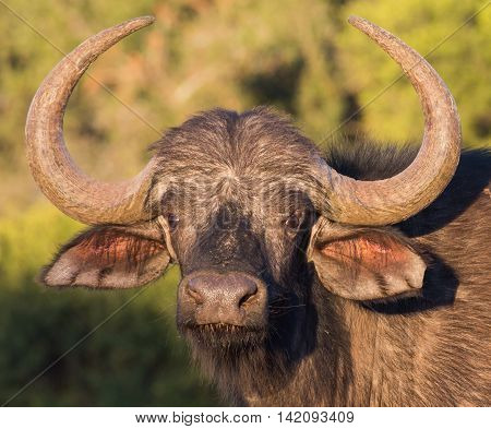 Portrait of an African Cape Buffalo with large curved horns and beady eyes