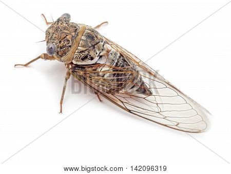 Cicada isolated on white background. Studio shot top view.