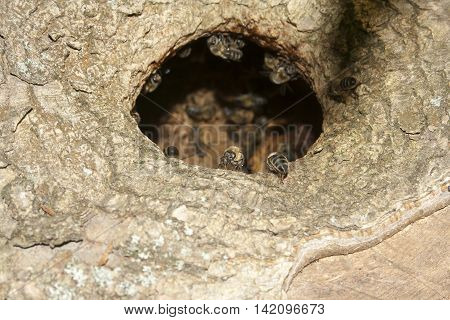 wild bees in the hollow of an old tree