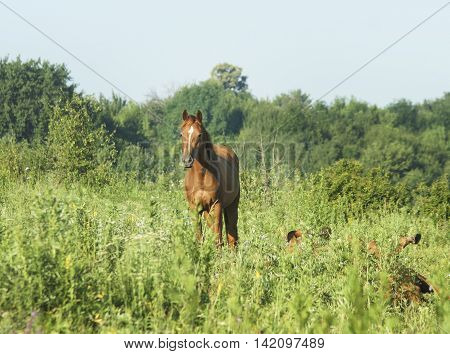 red horse with black mane stands on the field on the green grass