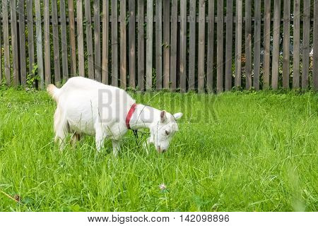 White goat in the village.  Pastoral views and rural animal grazing. The cattle in the pasture grazing. Horned cloven-hoofed livestock on a ranch. Goat's milk is good for health.