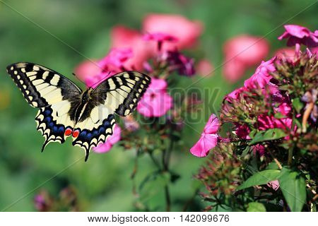 a beautiful swallowtail butterfly flitting above flowers on a bright summer meadow