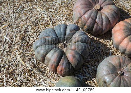 Autumn grey Hubbard Squashes pumpkin thanksgiving background. Pumpkins at the farm