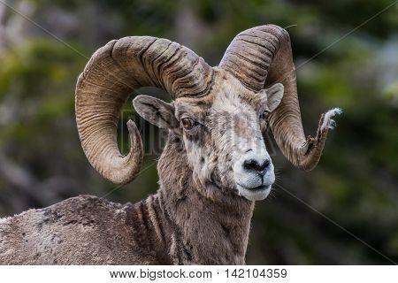 Big Horn Sheep Looking At Camera