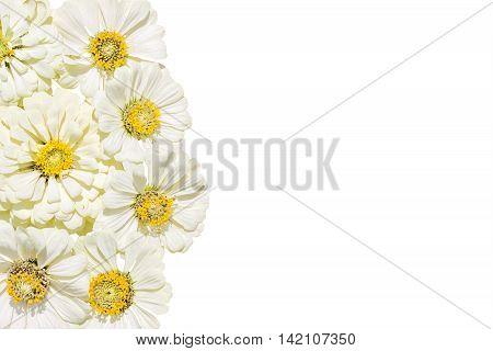 Inflorescences of flowers zinnias isolated on white background