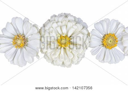 Three inflorescences of flowers zinnias isolated on white background close-up