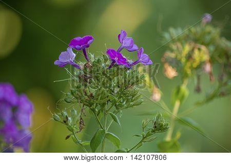 Flocks purple flower on the green blurred background