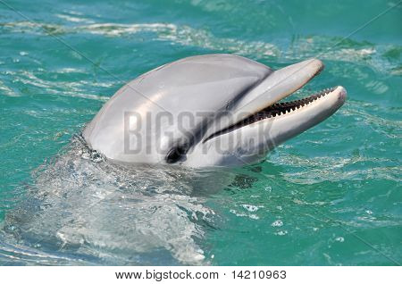Dolphin Smiling Close Up
