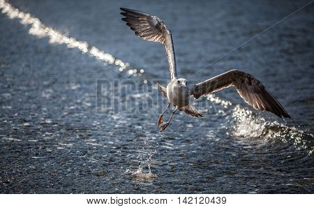 Seagull flying and landing with open wings on the beach