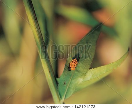 Orange insect eggs on green leaves