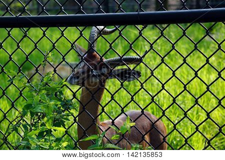 A gerenuk (Litocranius walleri) tries to reach a plant through a chain link fence.